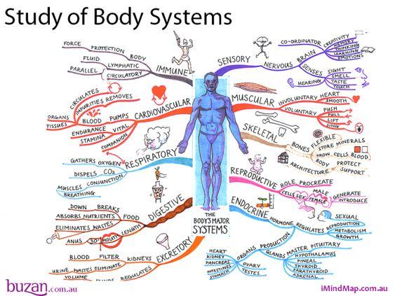 przykład mapy myśli nauka anatomii